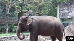 Voi Sumatra tại Vườn Bách thú Ragunan ở Jakarta, Indonesia. Liên đoàn Quốc tế Bảo tồn Thiên nhiên nói chỉ có khoảng từ 2400 đến 2800 con voi Sumatra còn sinh sống nơi hoang dã