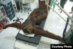 Orangutan Sumatera bernama Paguh saat menjalani perawatan medis di Stasiun Karantina Orangutan Batu Mbelin Sibolangit, Sumatera Utara, Kamis (21/11). (Courtesy: YEL-SOCP).