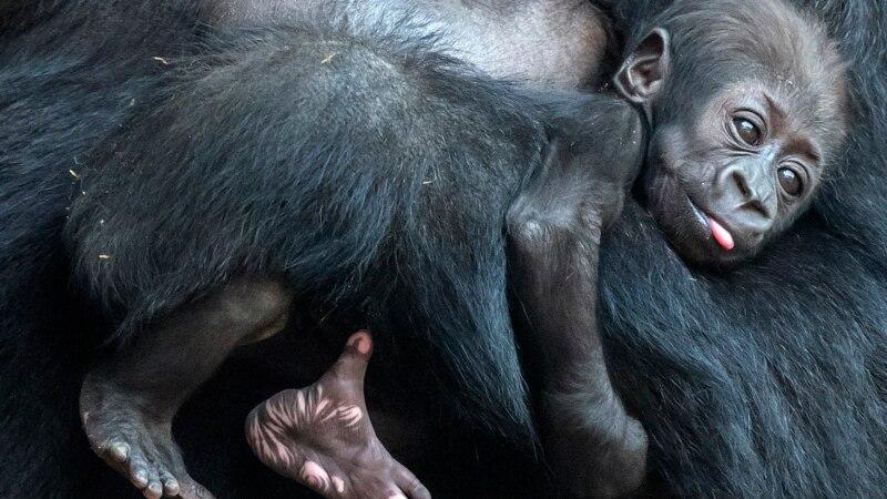 Les gorilles d'Afrique occidentale plus nombreux que prévu