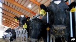 Foto yang diambil pada 16 Mei 2012 menunjukkan sapi perah di Chilton, Wisconsin yang mengalami masalah fisik (foto: AP Photo/Carrie Antlfinger)