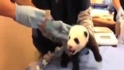 为美国国家动物园熊猫幼崽取名