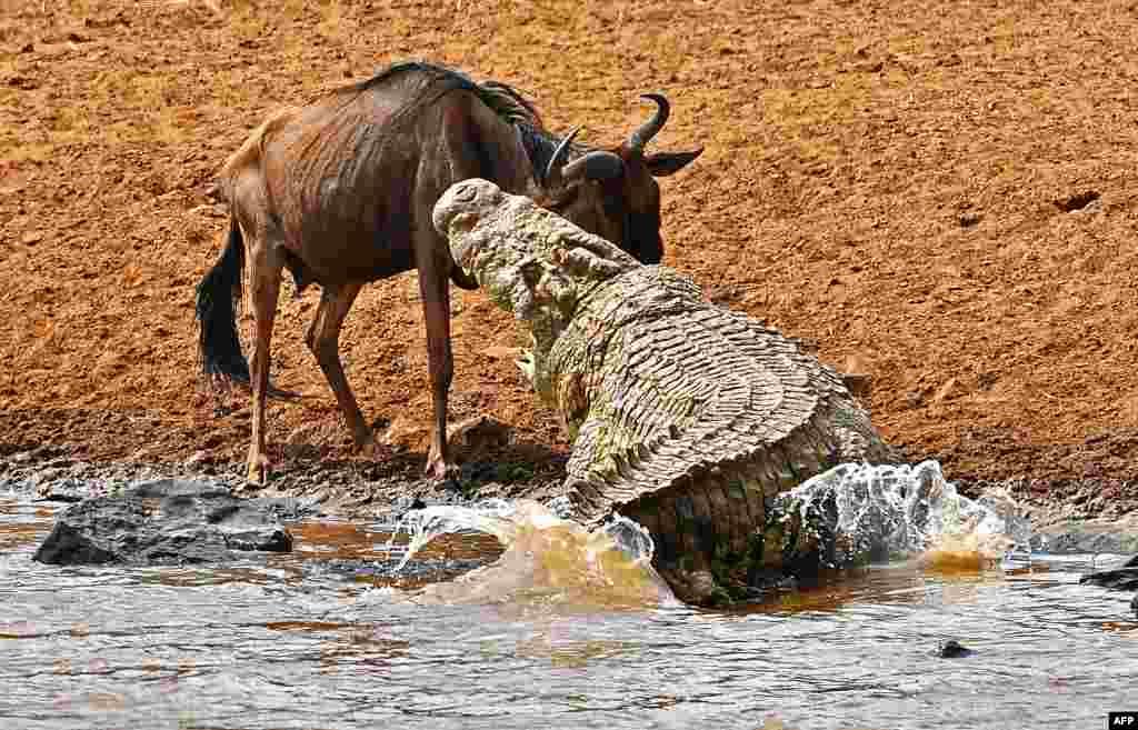 សត្វក្រពើធំមួយខាំសត្វទន្សោងមួយ នៅឧទ្យាន Masai Mara ប្រទេសកេនយ៉ា។