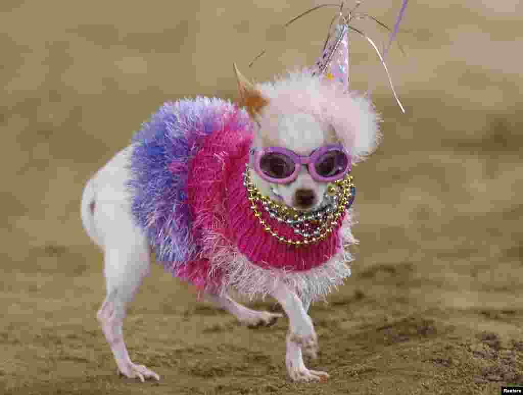미국 캘리포니아주 산타페에서 열린 애완견, 애완고양이 경연대회에서 치와와 종 '비앙카'가 우승했다.