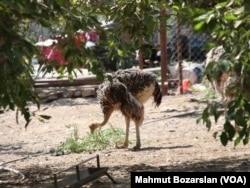 This ostrich lives on an ostrich farm in Diyarbakir, Turkey. It seems to be simply pecking the sand and not burying its head in it.