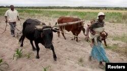 Des agriculteurs communaux cultivent du maïs dans le district de Mvuma, à Masvingo, Zimbabwe, 26 janvier 2016.