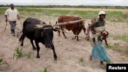 Communal farmers cultivate maize crops in Mvuma district, Masvingo, Zimbabwe, Jan. 26, 2016.