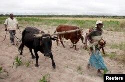 Communal farmers cultivate maize crops in Mvuma district, Masvingo, Zimbabwe