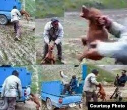بهرام محمد عوض زاده، صاحب و ضارب سگ در حالی که سگ از درد زوزه می کشد او را به باد کتک گرفته