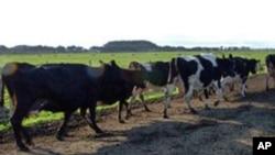 新西蘭一家養牛場(資料)