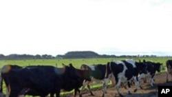 新西兰一家养牛场(资料)