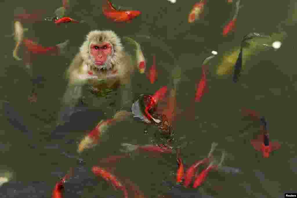 Majmun u igri sa kineskom vrstom šarana u jednom rezervatu divljine nedelako od Hefei-a.