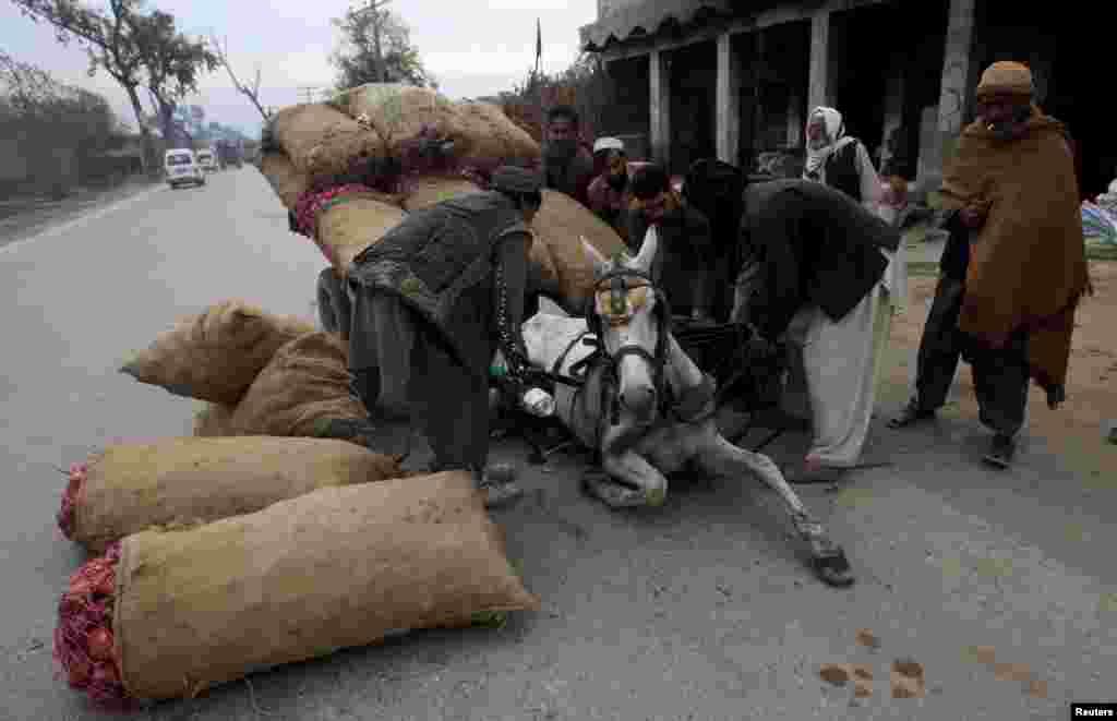 Mọi người giúp nhấc một con ngựa bị những bao hành tây quá tải đè xuống, ở ngoại ô thành phố Peshawar, Pakistan.