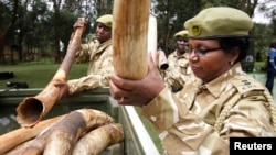 FILE - Kenya Wildlife Service officials carry recovered elephants tusks and illegally held firearms from poachers.