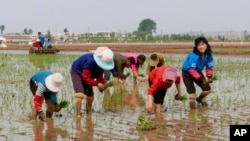FILE - North Korean farmers plant rice seedlings in a field at the Sambong Cooperative Farm, South Pyongan Province.