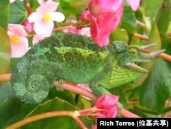 Jackson's Chameleon ( a lizard)