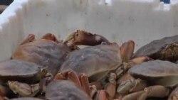 看天下: 肥美的太平洋大蟹