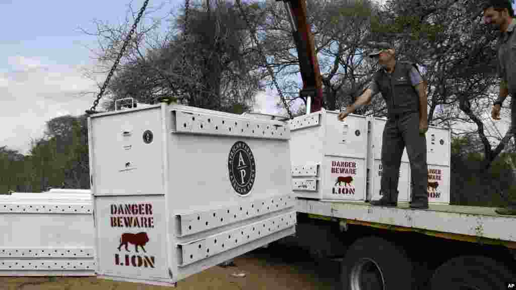 Simon Naylor, Phinda reserve manager, left, with unidentified official, watches a cage carrying sedated lion, loaded unto a truck in Phinda Private Game Reserve, South Africa, Monday, June 29, 2015, unwitting passengers about to embark on a 30-hour, 2,500-mile (4,000-kilometer) journey by truck and plane from South Africa to Rwanda, whose lion population was wiped out following the country's 1994 genocide.