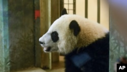 FILE - One-year-old giant panda cub Bei Bei takes a peek out of his cage at the National Zoo in Washington, Aug. 20, 2016. Bei Bei is now recovering after emergency intestinal surgery.