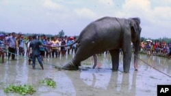 Bangladeshi villagers gather as wildlife experts attend to a fully grown Indian elephant that washed up in a swamp after being caught up in raging floodwaters in Jamalpur district, some 150 kilometers (94 miles) north of Dhaka, Aug.14, 2016.