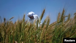 A farmer checks his wheat crop on the outskirts of Lahore. (File)