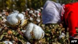 中国新疆哈密一名女子正在摘棉花。(2018年10月14日)