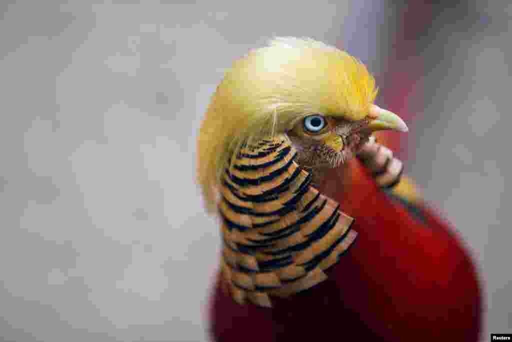 قرقاول کاکل طلا در یک پارک طبیعی در چین. می گویند کاکل این قرقاول شبیه موهای دونالد ترامپ، رئیس جمهوری منتخب آمریکا است.