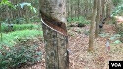 Procuradoria quer travar devastação de florestas II