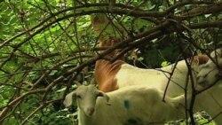 На Капитолийский холм привезли эко-коз