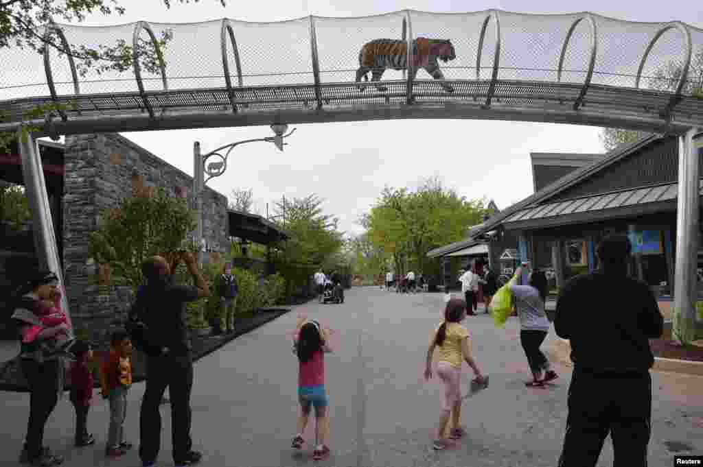 An Amur tiger walks over the new Big Cat Crossing as visitors look on at the Philadelphia Zoo in Philadelphia, Pennsylvania May 7, 2014. The new animal exploration trail experience called Zoo360 of see-through mesh trails enables animals to roam around and around and above Zoo grounds.