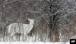 A rare white white-tailed deer looks up while feeding in Romulus, N.Y., Feb. 2007.