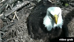 This week, thousands of people have been watching live video of bald eagles breaking open their eggs.
