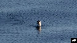 A seal swims in the Davis Strait off the Canadian Arctic Archipelago, Friday, July 28, 2017. (AP Photo/David Goldman)