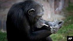 一只黑猩猩正在点烟。