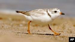 El chorlo playero está en el centro de una disputa legal por la recuperación de una playa, su habitat, en Nueva York.