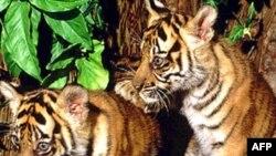 Thái Lan bảo vệ loài hổ