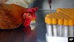 Nhân viên y tế lấy mẫu máu của một con gà ở Hồng Kông.