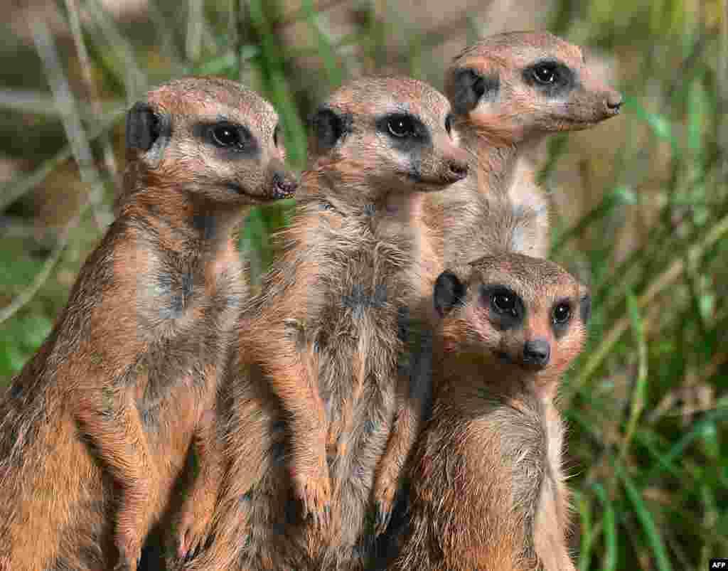 Meerkats look at visitors in Erfurt's zoo in Germany.