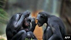 ممکن است تفاوت بین دو اسید آمینه در یک ژن انسان وشامپانزه، توانایی های کلامی انسان را متحول کرده باشد