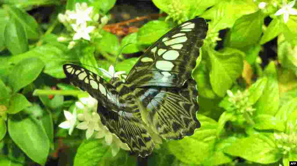 Amerikan Doğa Tarihi Müzesi: Kelebekler