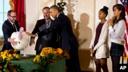 """Tổng thống Barack Obama cùng hai con gái Sasha và Malia chạm vào chú gà tây Cheese sau khi """"ân xá"""" cho chú, một truyền thống trong dịp Lễ Tạ Ơn hàng năm ở Mỹ, 26/11/2014."""