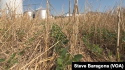 FILE: Here is an example of no-till farming. Trey Hill's no-till soybeans grow through what is left of the previous season's cover crop in Maryland.