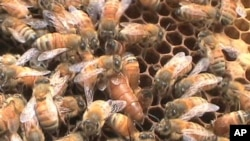 Bee Expert Honored with Tyler Environmental Prize