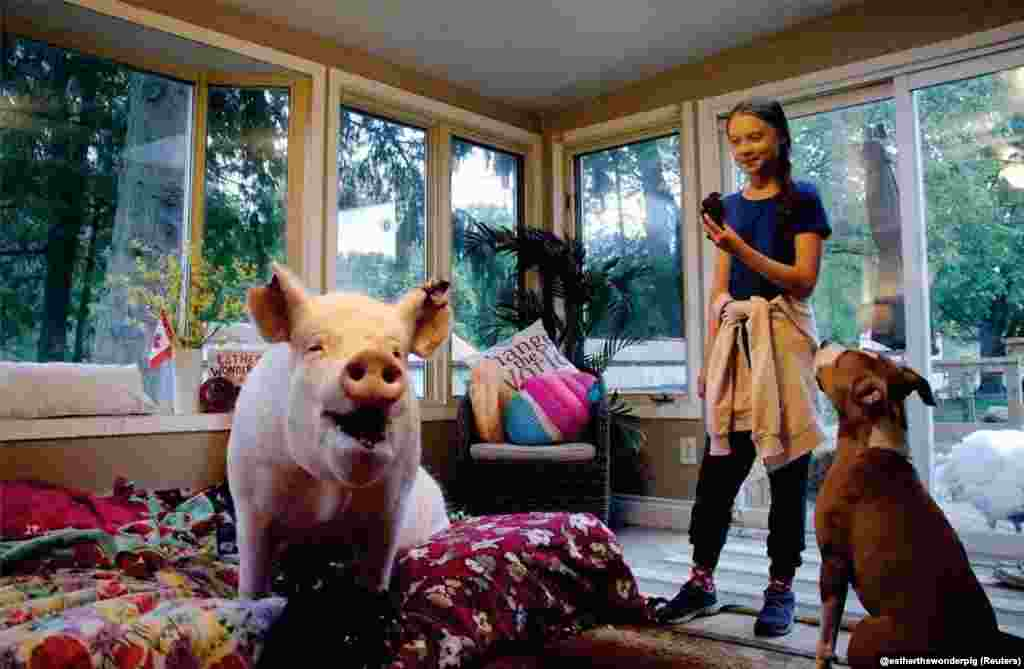 Swedish environmental activist Greta Thunberg meets Esther the Wonder Pig during her visit to Esther's animal sanctuary in Campbellville, Ontario, Canada, Oct. 2, 2019 in this photo obtained from social media.