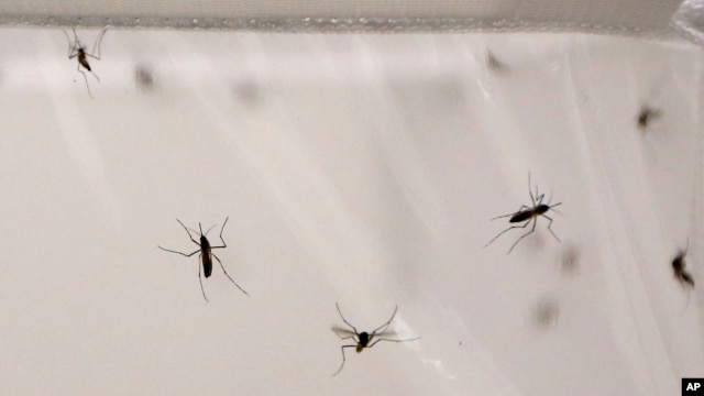 말라리아 전염병을 옮기는 모기들. (자료사진)