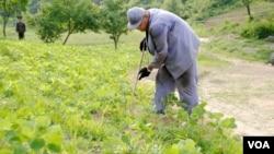 日本《朝鮮新報》公佈的照片顯示美籍韓裔傳教士裴俊浩在北韓衛兵監視下勞動改造。(2013年6月資料照片)