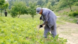 Image of Kenneth Bae, published by Japanese newspaper Choson Sinbo, as he works on a farm with a North Korean guard watching, June 2013.