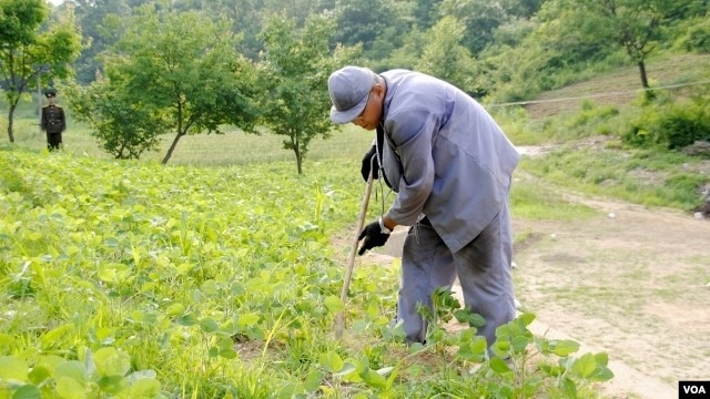 FILE - Image of Kenneth Bae published by Japanese newspaper Choson Sinbo as he works on a farm with a North Korean guard watching.