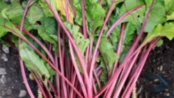 Want to Grow a Root? Beets Are Hard to Beat