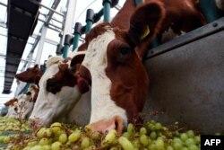 Sapi-sapi di peternakan sapi perah terapung di pelabuhan Rotterdam, 30 Agustus 2021. (AFP).