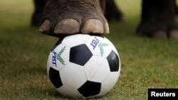 Một chú voi tham gia trận đấu hôm 12/6.